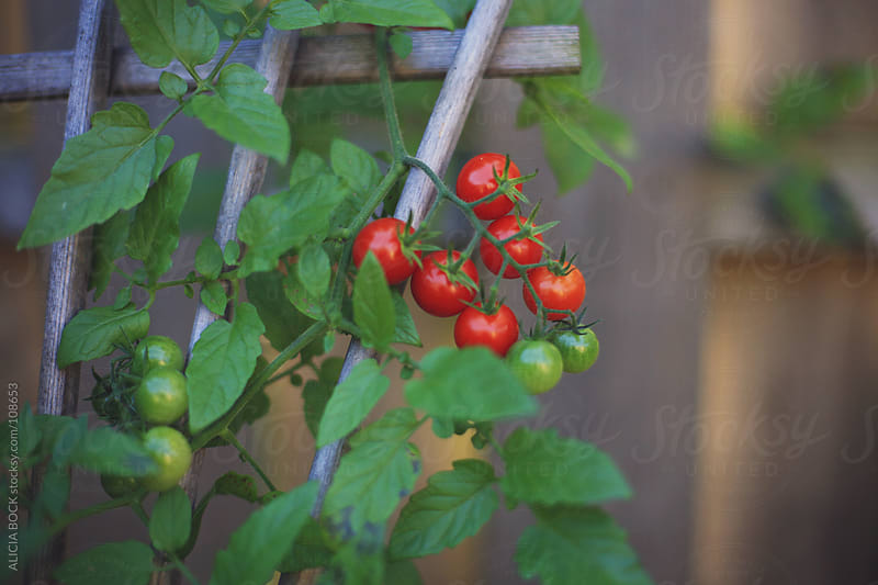 Vine Ripening Tomatoes by ALICIA BOCK for Stocksy United
