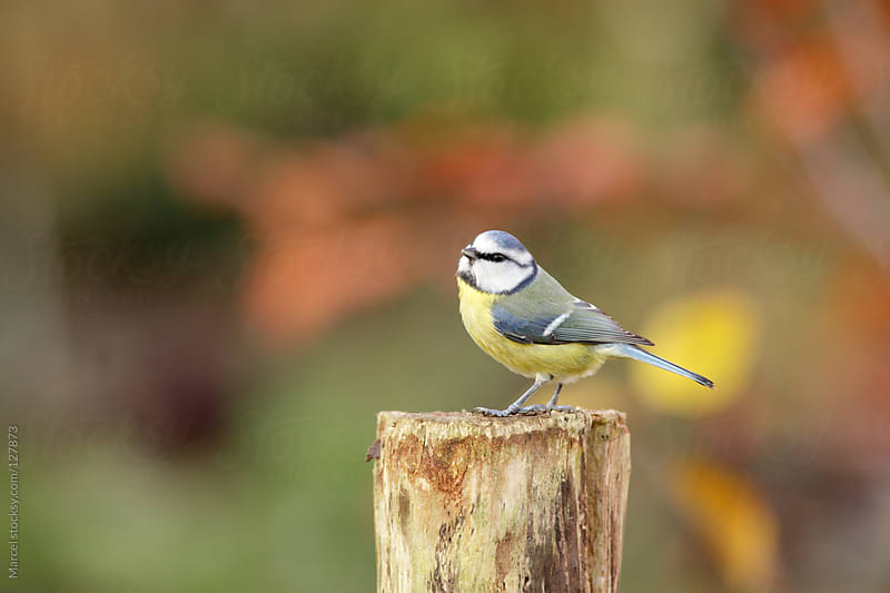 Blue tit on tree stump in autumn by Marcel for Stocksy United