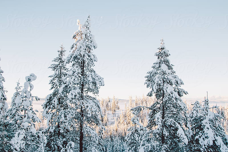 Tall evergreen trees covered in snow under a brilliant blue sky by Justin Mullet for Stocksy United