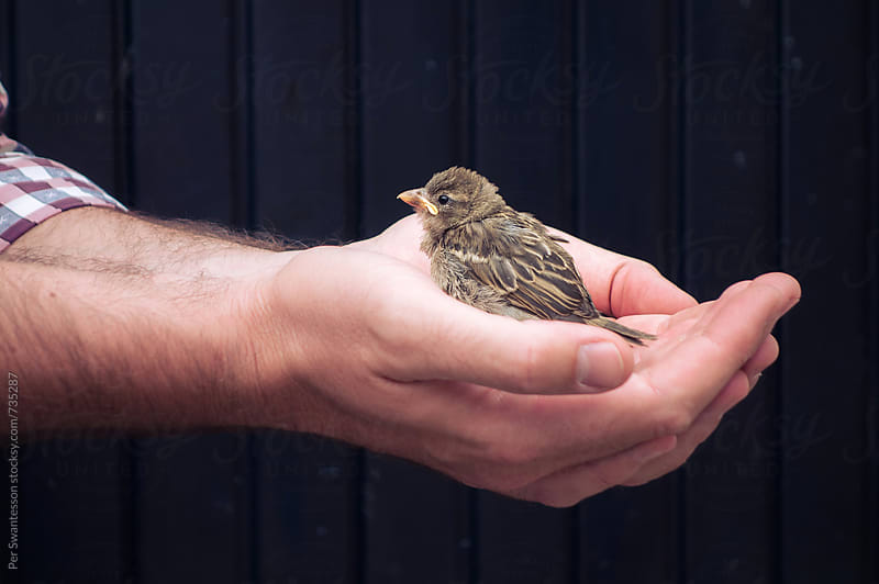 Homeless bird in the care of hands by Per Swantesson for Stocksy United