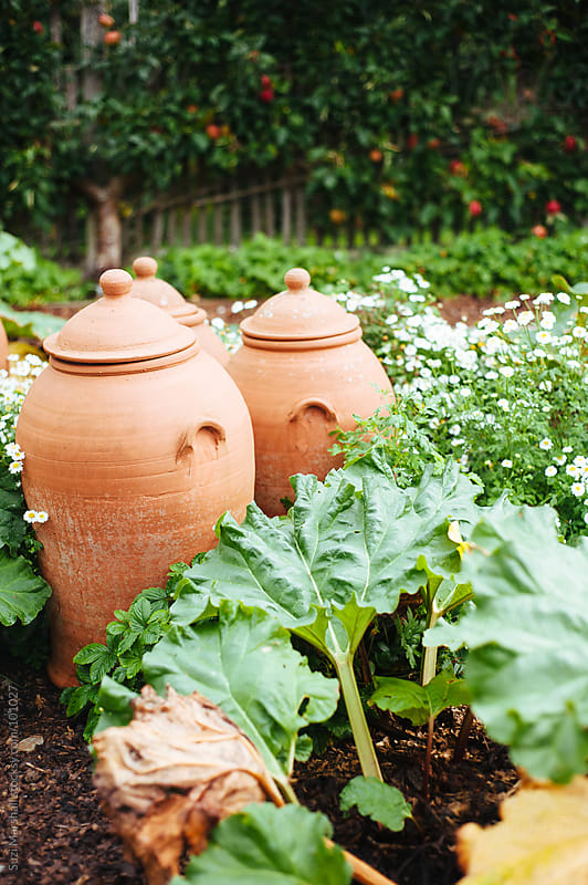Rhubarb forcers and rhubarb plants in a garden by Suzi Marshall for Stocksy United