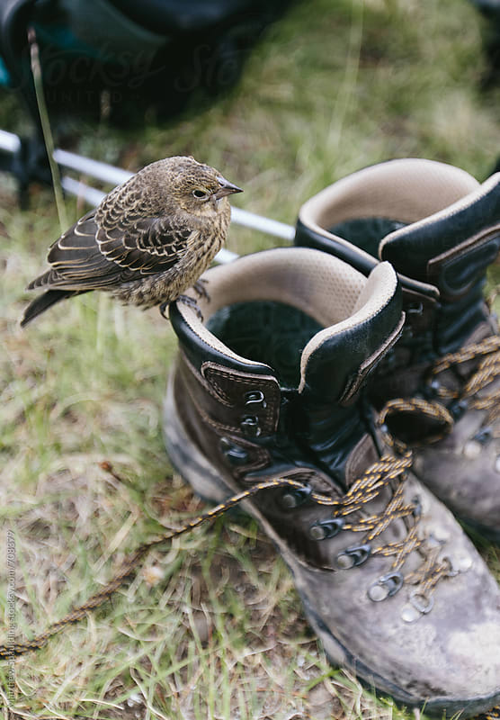 Bird sitting on pair of hiking boots by Matthew Spaulding for Stocksy United