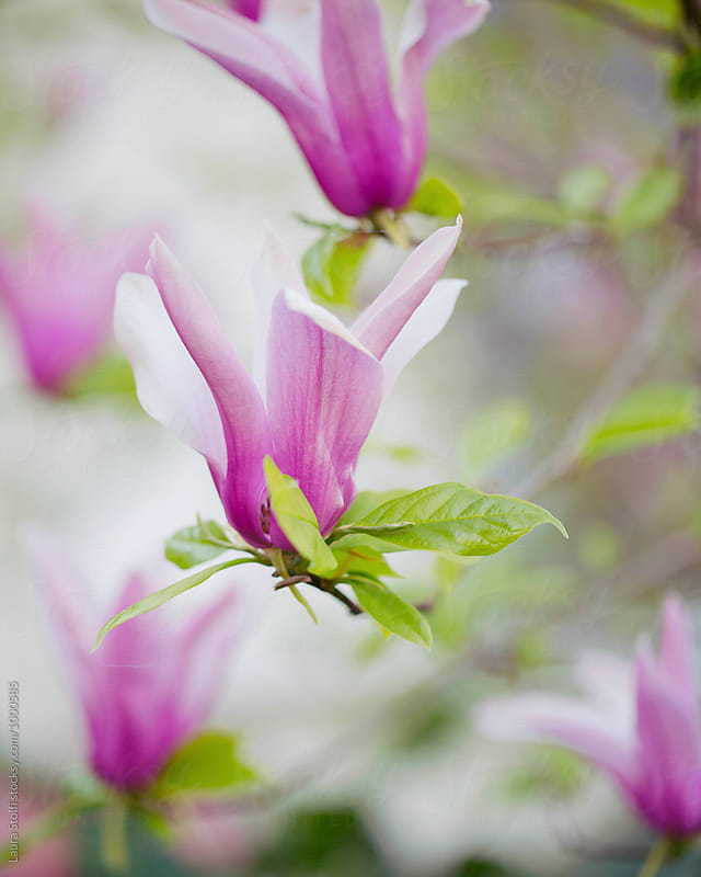 Lily magnolia flowers on the tree in springtime by Laura Stolfi for Stocksy United