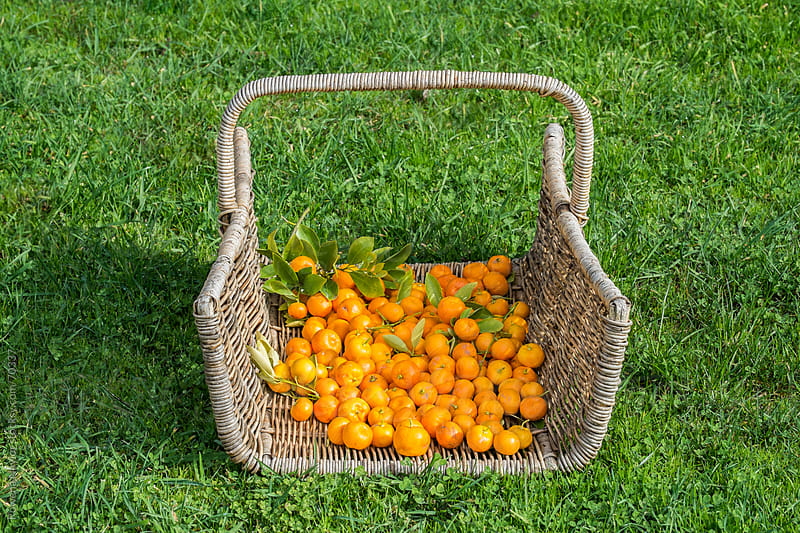 Basket of Kumquats by Rowena Naylor for Stocksy United