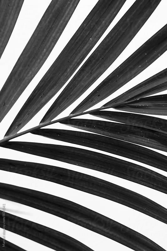 palm leaf in b&w by Marcel for Stocksy United