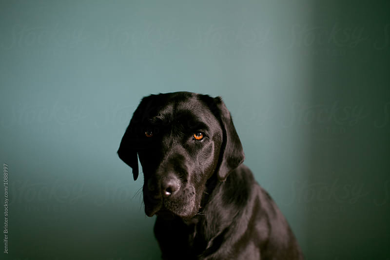 Portrait of serious black lab by Jennifer Brister for Stocksy United