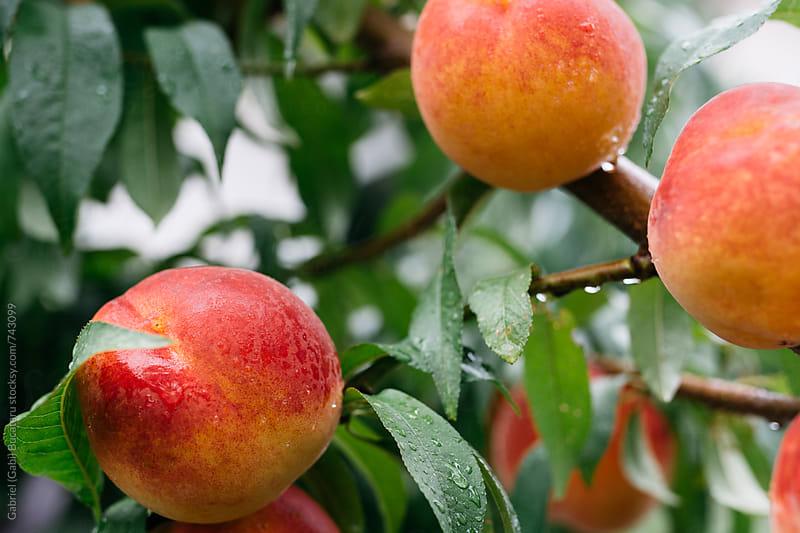Peaches on a tree by Gabriel (Gabi) Bucataru for Stocksy United