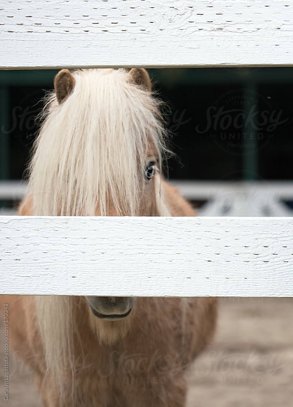 Sweet, little blonde pony behind the fence of his corral by Carolyn Lagattuta for Stocksy United
