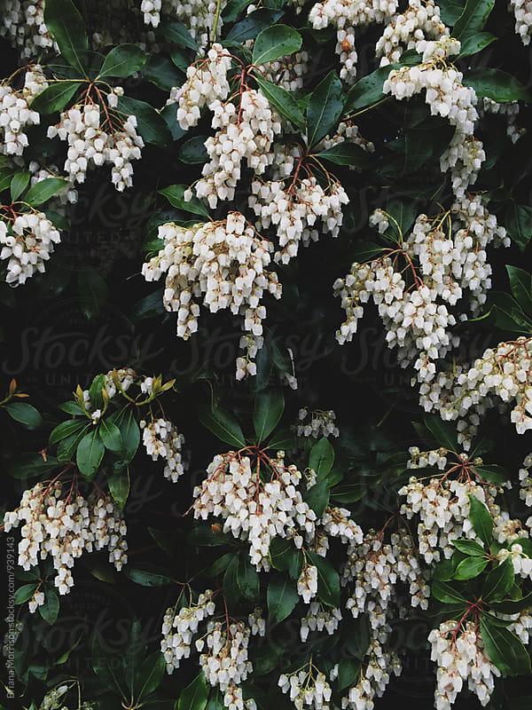 Close Up of Beautiful Bush with Drooping White Blossoms by Briana Morrison for Stocksy United