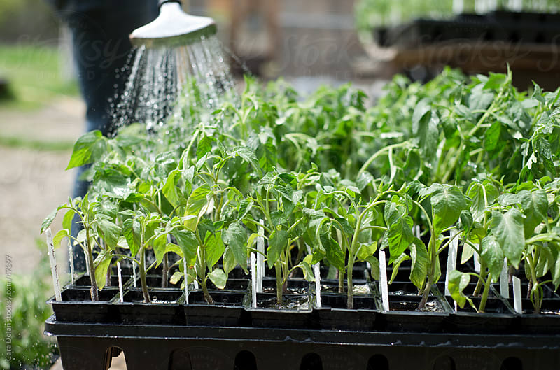 Tomato plants are watered on a farm  by Cara Dolan for Stocksy United