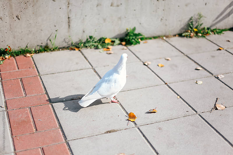 White pigeon on the ground outdoors by Marija Mandic for Stocksy United