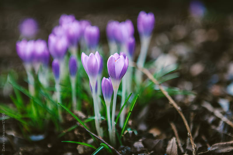Purple Crocus by Zocky for Stocksy United
