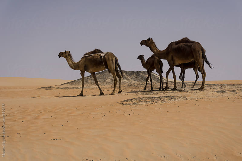 United Arab Emirates. Camels in the Empty Quarter desert. by Mauro Grigollo for Stocksy United