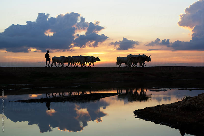 Domestic cattle returning through a wonderful landscape by PARTHA PAL for Stocksy United