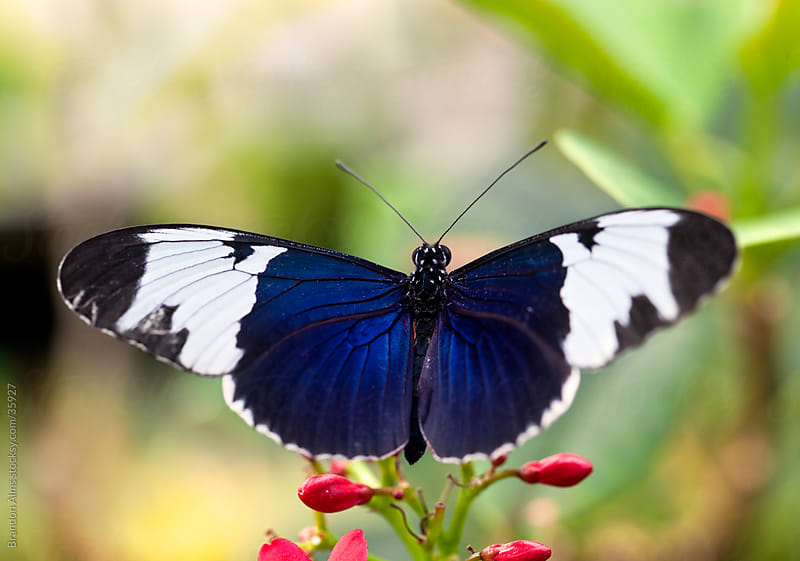 Sapho Longwing Butterfly Macro on Flowers by Brandon Alms for Stocksy United