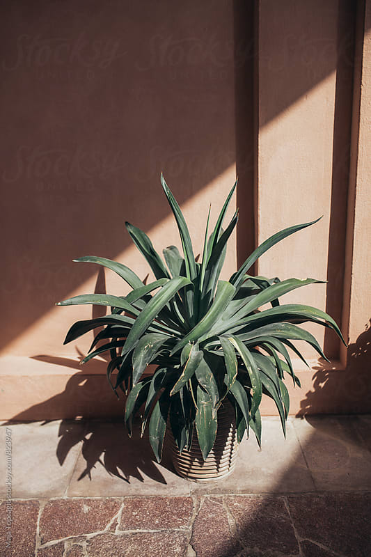 Aloe vera plant outdoors by Maja Topcagic for Stocksy United