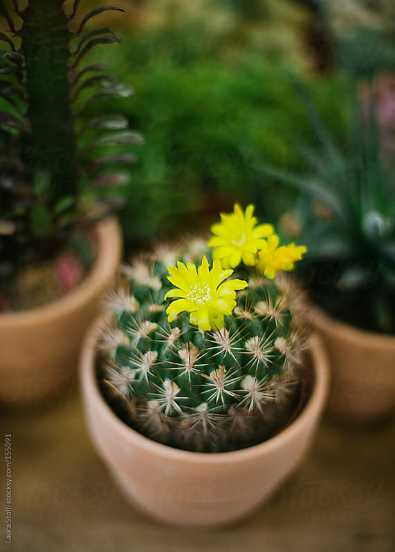 Succulents in bloom: yellow flower on cactus plant amongst thorns by Laura Stolfi for Stocksy United
