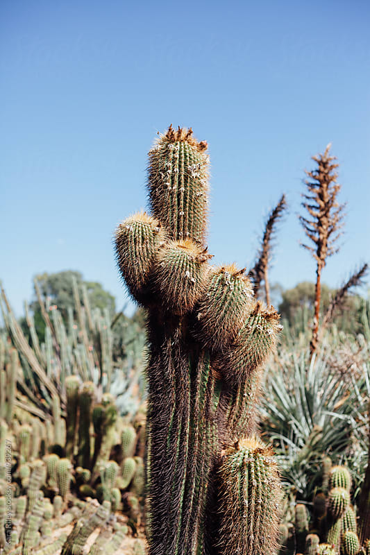 Large Cactus in Cacti Garden by Kara Riley for Stocksy United