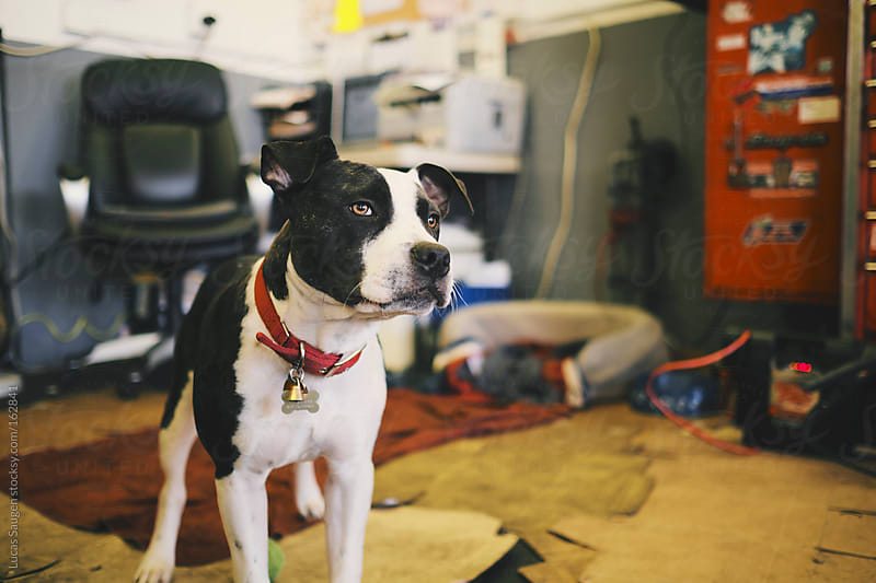 Cute 7 month old puppy hanging around an automotive shop. by Lucas Saugen for Stocksy United