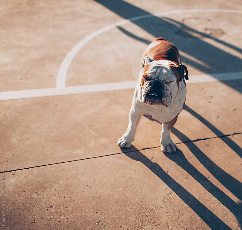 Boxer dog portrait by Leandro Crespi for Stocksy United