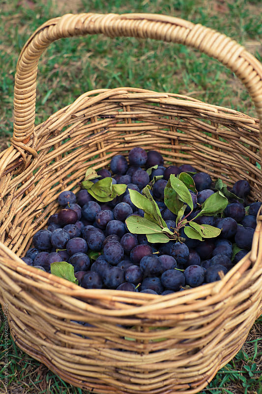 Damson Plums Just Harvested by Rowena Naylor for Stocksy United