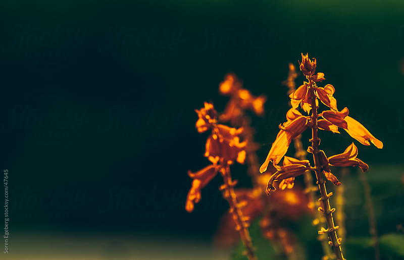 Bright orange tropical flowers on a out of focus dark background by Søren Egeberg Photography for Stocksy United