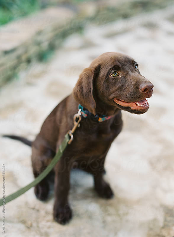 Chocolate labrador puppy  by Vicki Grafton Photography for Stocksy United