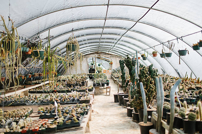 A group of succulents & cactus in a greenhouse by Kristen Curette Hines for Stocksy United