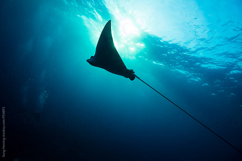 Eagle ray by Song Heming for Stocksy United