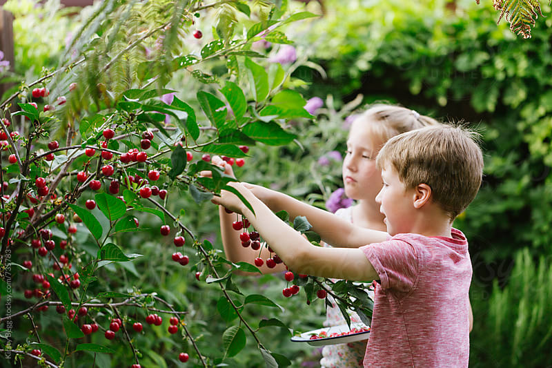 Children harvesting Morello cherries from tree by Kirsty Begg for Stocksy United