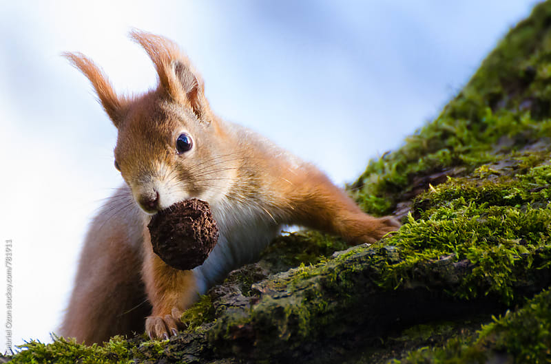 Red Squirrel by Gabriel Ozon for Stocksy United