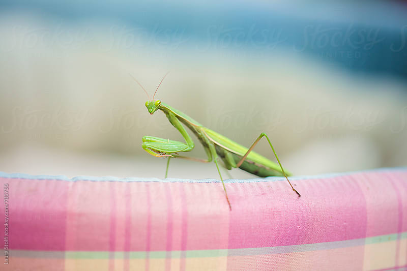 Close up of praying mantis on cat kennel by Laura Stolfi for Stocksy United