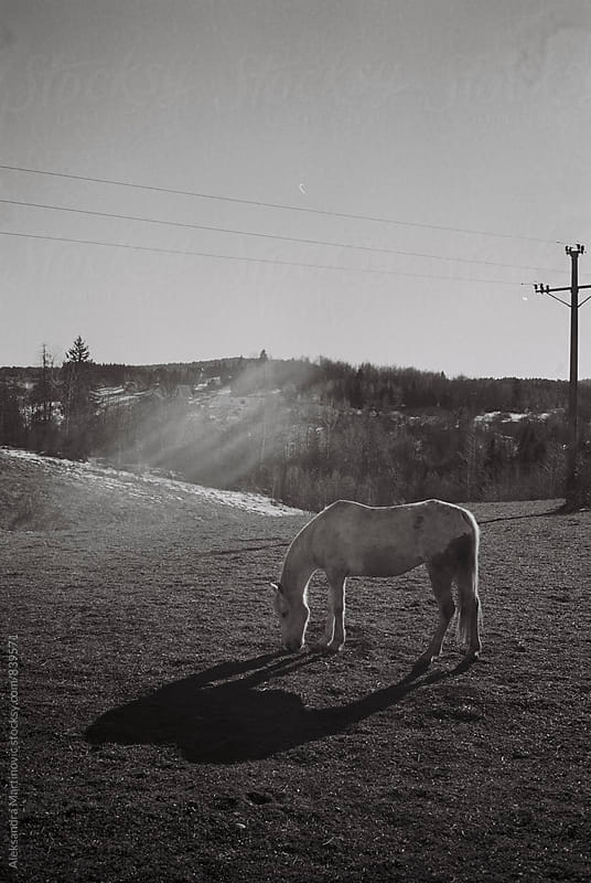 A white horse by Aleksandra Martinovic for Stocksy United