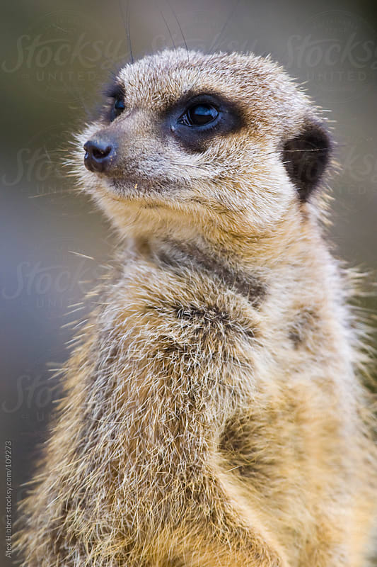 Meerkat by Alex Hibbert for Stocksy United