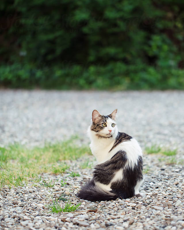 Long haired cat sits in garden and stares at something by Laura Stolfi for Stocksy United
