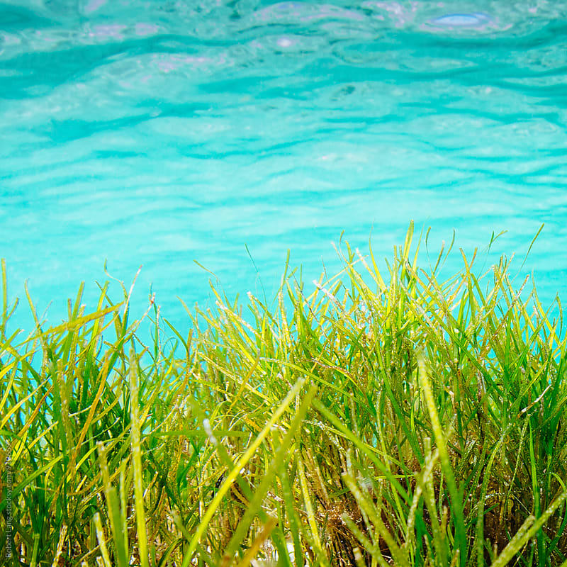 Long sea grass underwater by Robert Lang for Stocksy United