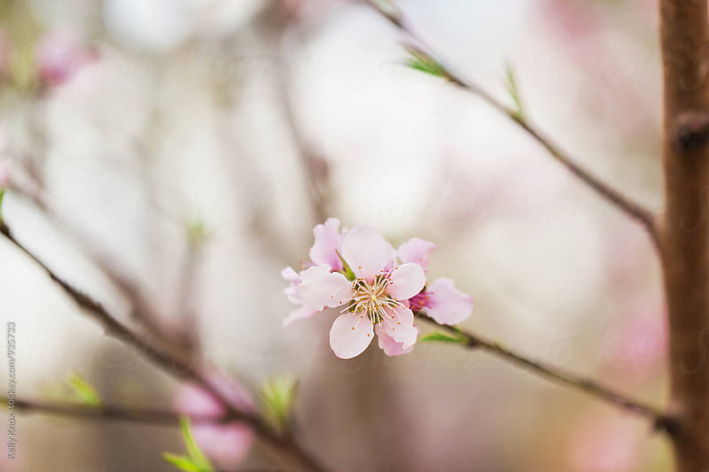 solitary peach blossom blooming on a tree in spring by Kelly Knox for Stocksy United