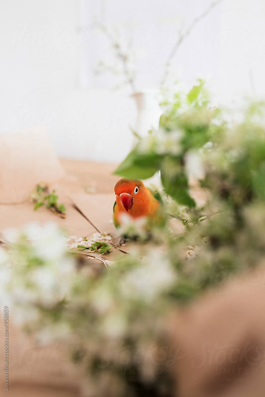 Peeking parrot by Jovana Rikalo for Stocksy United