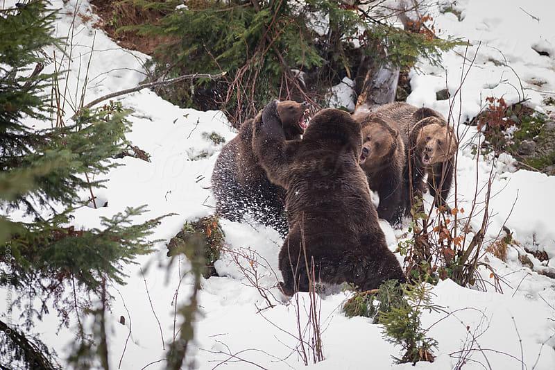 Bear fight by Gabriel Ozon for Stocksy United