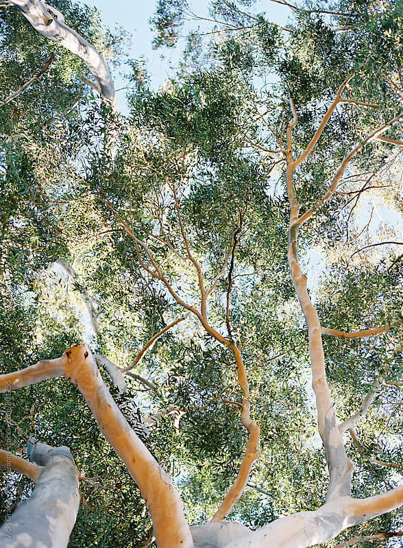 Daydreaming Tree Canopy  by Vicki Grafton Photography for Stocksy United