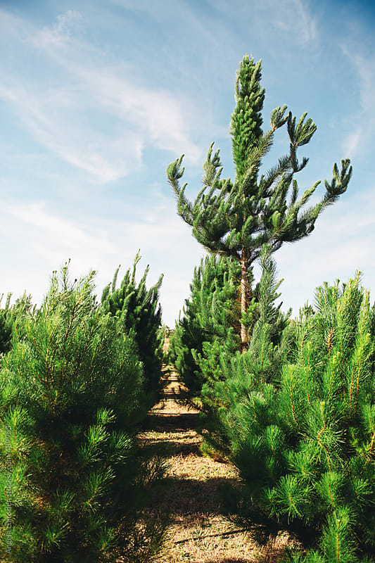 Unusual christmas tree stands out at the christmas tree farm by Angela Lumsden for Stocksy United