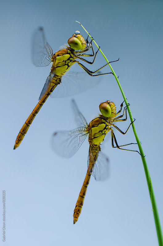 Dragonfly by Gabriel Ozon for Stocksy United