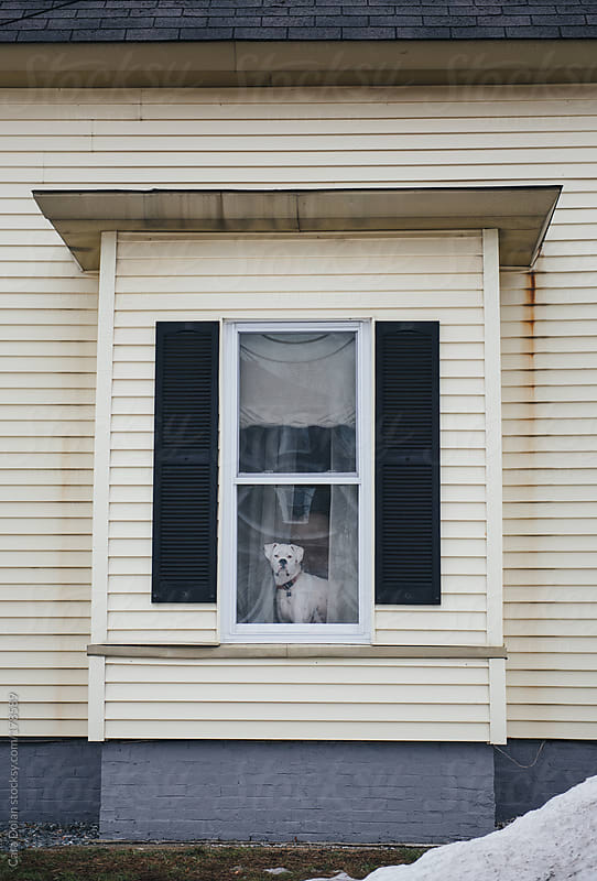 White American bulldog looks out the window of his house by Cara Dolan for Stocksy United