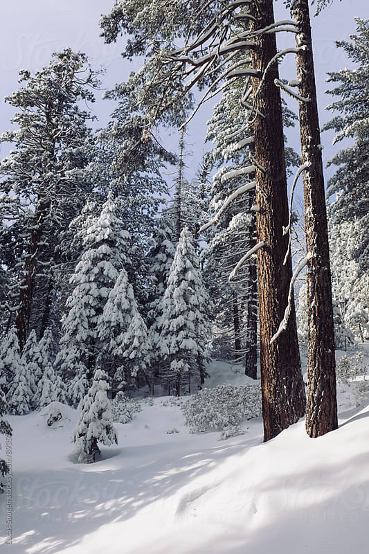 Deep in the woods of Yosemite with a fresh layer of snow. by Lucas Saugen for Stocksy United