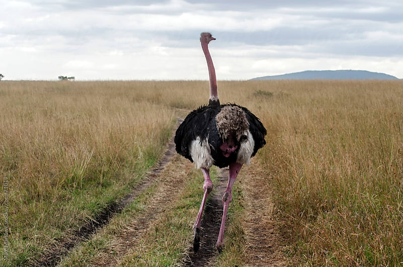 An ostrich running along a track on an open savanna. by Mike Marlowe for Stocksy United