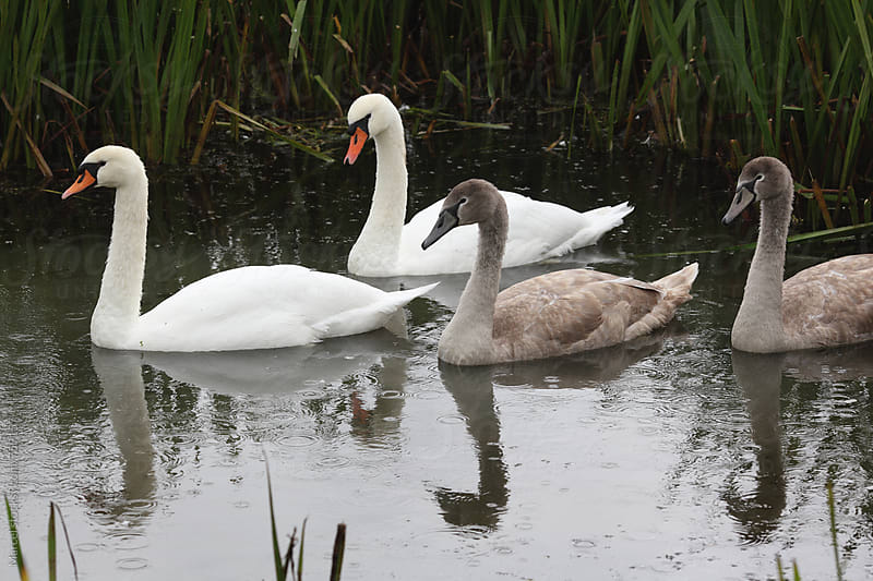 Swan family in the rain, swimming in a ditch by Marcel for Stocksy United