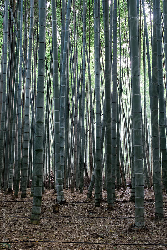 Arashimaya Bamboo Forest, Kyoto by Rowena Naylor for Stocksy United