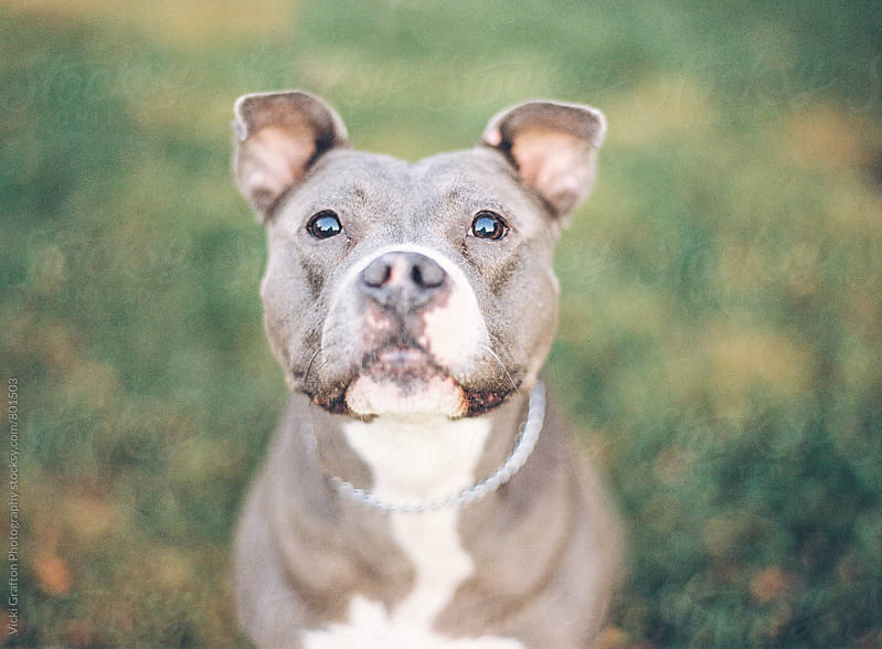 Smiling Pit Bull Terrier by Vicki Grafton Photography for Stocksy United