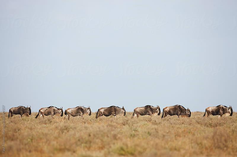 Seven Wildebeest by Paul Tessier for Stocksy United