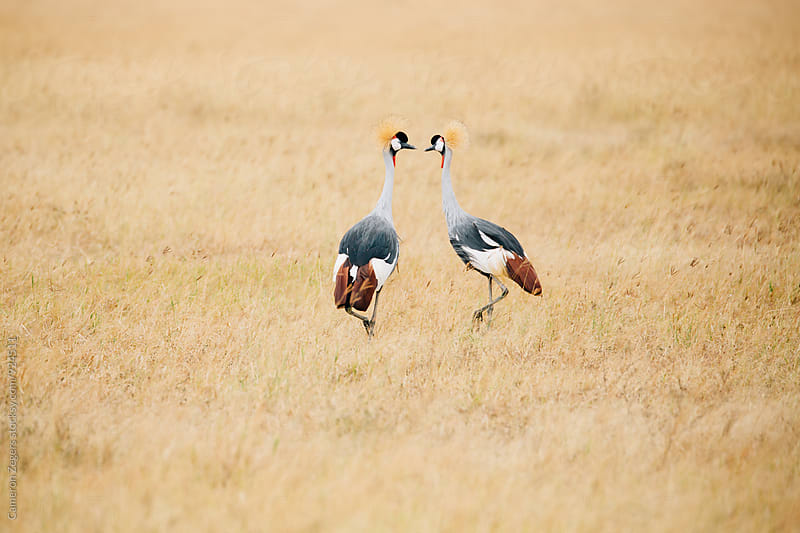 pair of grey crowned cranes in grass by Cameron Zegers for Stocksy United
